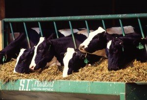 cows-at-feed-trough