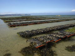 Oyster Aquaculture In The Chesapeake Bay Is Maryland Ready Center For A Livable Futurecenter For A Livable Future