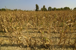 Cornfield in drought