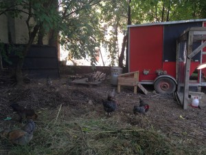 Chickens at Hidden Harvest / 2014
