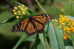 Roundup devastated the monarch butterfly population. What will Dow's Enlist Duo do?