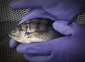 Tilapia at the CLF Aquaponics facility.